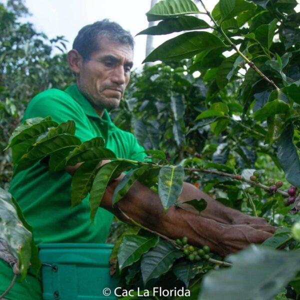 Bauer bei ernte von Fairtrade Bio Kaffee auf einer Kaffeplantage.