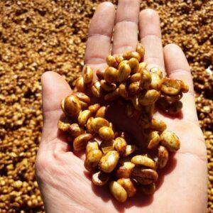Fairtrade Bio Kaffee Honey, auf einer Handfläche. Im Hintergrund liegen Kaffeebonen zur Röstung.